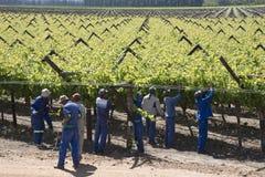 Arbeitskräfte, die Rebe-Botrivier-Region Südafrika binden lizenzfreies stockbild