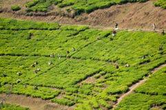 Arbeitskräfte, die Tee auswählen Lizenzfreies Stockbild