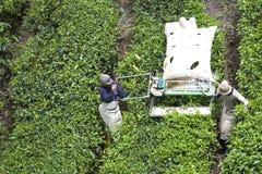 Arbeitskräfte, die Teeblätter ernten stockbilder