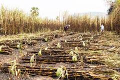 Arbeitskräfte, die Zuckerrohr ernten Stockbild