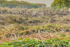 Arbeitskräfte schneiden Zuckerrohr morgens in Kanchanaburi Tha stockbilder