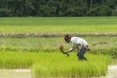 Arbeitskraft auf dem Reisgebiet Lizenzfreies Stockbild