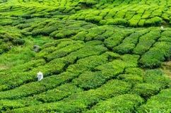 Arbeitskraft auf der Teeplantage Lizenzfreies Stockbild