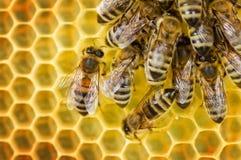 Arbeitskraft-Bienen auf Bienenwabe Stockfotos