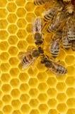Arbeitskraft-Bienen auf Bienenwabe Stockfoto