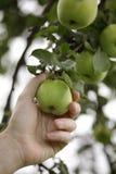 Arbeitskraft, die einen grünen Apfel auswählt Stockfotografie