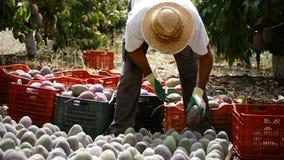Arbeitskraft, die tropische Frucht der Mango in einer Plantage landwirtschaftlich sammelt stock video footage