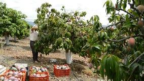 Arbeitskraft, die tropische Frucht der Mango in einer Plantage landwirtschaftlich sammelt stock footage