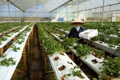 Arbeitskraft, Erdbeergarten, Dalat, DA-Lat Lizenzfreie Stockfotografie