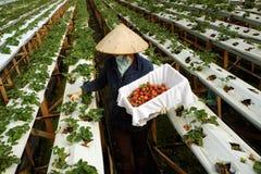 Arbeitskraft, Erdbeergarten, Dalat, DA-Lat Stockfotos