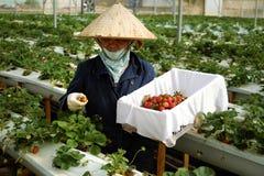 Arbeitskraft, Erdbeergarten, Dalat, DA-Lat Lizenzfreies Stockfoto