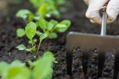 Arbeitskraft interessiert sich für junge Rakete im Garten Stockfotos