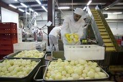 Arbeitskraft setzt Zwiebeln Lizenzfreie Stockbilder