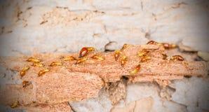 Arbeitskraft- und nasutetermiten auf Zerlegungsholz Lizenzfreie Stockfotos