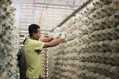 Arbeitskraft wählt Pilze aus Lizenzfreies Stockfoto