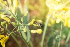 Arbeitskraftbiene auf der yelow Blume Stockbilder