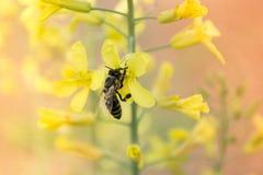Arbeitskraftbiene auf der yelow Blume Stockfotografie