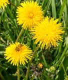 Arbeitskraftbiene, die Blütenstaub auf Saudistelblume an der vollen Sonne erfasst Stockbild