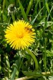 Arbeitskraftbiene, die Blütenstaub von der einzelnen Saudistel erfasst Lizenzfreies Stockbild