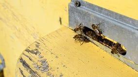Arbeitskraftbienen auf Flug verschalen am Bienenstockeingang stock video