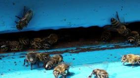 Arbeitskraftbienen nähern sich Bienenstock stock video