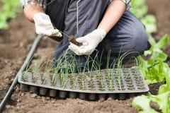 Arbeitskrafthände des grünen Hauses, die Sämlinge pflanzen Stockfotos