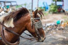 Arbeitspferd für tragende Touristen Stockfoto