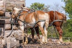 Arbeitspferde Stockfotografie