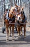 Arbeitspferde streicheln, während sie auf Leute warten, um zu reiten stockfoto