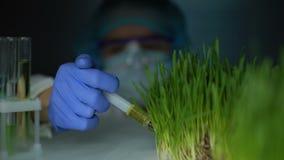 Arbeitswissenschaftler, der Flüssigkeit in der Grasprobe, genetische Züchtung, Landwirtschaft einspritzt stock video footage