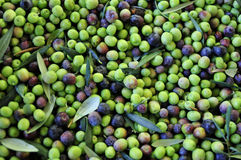 Arbequina olives Royalty Free Stock Images