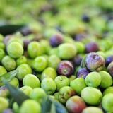 Arbequina olives. A pile of arbequina olives after harvesting Royalty Free Stock Image