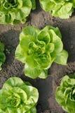 arbeta i trädgården grönsallat Fotografering för Bildbyråer