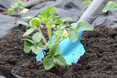 Arbeta i trädgården med jordgubbeväxten Royaltyfri Foto