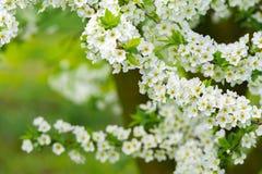 Arbeta i trädgården med majestically att blomstra stora träd på en ny grön gräsmatta Arkivbild