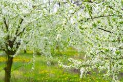 Arbeta i trädgården med majestically att blomstra stora träd på en ny grön gräsmatta Royaltyfri Fotografi