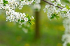 Arbeta i trädgården med majestically att blomstra stora träd på en ny grön gräsmatta Royaltyfri Bild