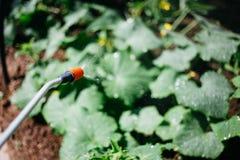 Arbeta i trädgården och bevattna växter, sprejvattenväxter i trädgården arkivfoton