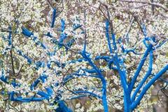 Arbeta i trädgården och blomningträd Royaltyfria Bilder