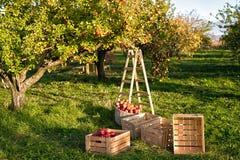 Arbeta i trädgården och skörda Nedgångäpplet kantjusterar plockningen i trädgård Apple träd med frukter på filialer och stege för arkivfoton