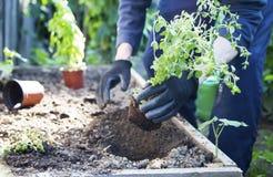 Arbeta i trädgården Odla en kruka av oreganoörten arkivfoto