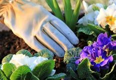 arbeta i trädgården primroses royaltyfri bild