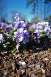 Arbeta i trädgården purpurfärgade växter för blomsterrabatt royaltyfri bild