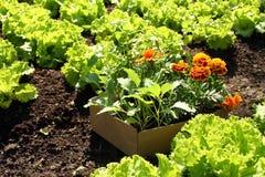 arbeta i trädgården springtamegrönsaker för underlag Arkivfoto