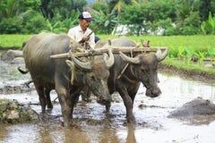 Arbeta med buffel två Arkivfoto