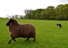 Arbeta med fåren Arkivbild