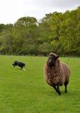 Arbeta med fåren Arkivbilder