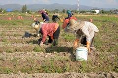Arbeta på ett potatisfält med den thai bonden. Royaltyfria Bilder