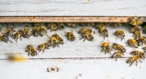 Arbetande bin stänger sig upp nära bikupan på en ljus solig dag arkivfoto