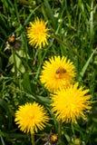 Arbetarbi som arbetar på den gula blomman - samla pollen Fotografering för Bildbyråer
